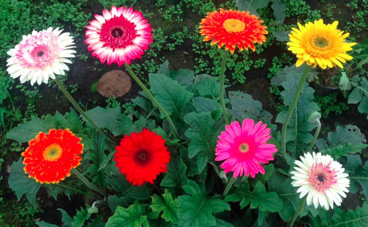 ban hoa cuc dong tien